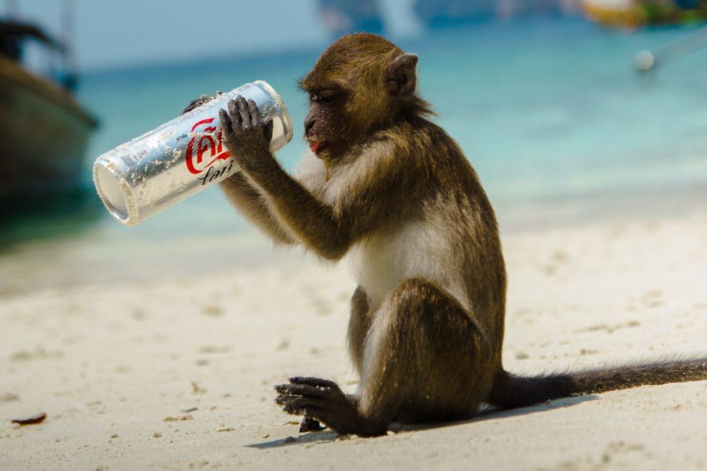 Ein Affe hält eine Dose Cola Light in den Händen und bemerkt, dass sie ungesund ist, Gewichtszunahme und Stoffwechselerkrankungen fördert