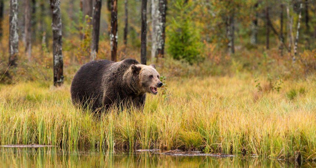 Ein Bär in der freien Wildbahn als Beispiel für eine akute Kampf-oder-Flucht-Reaktion
