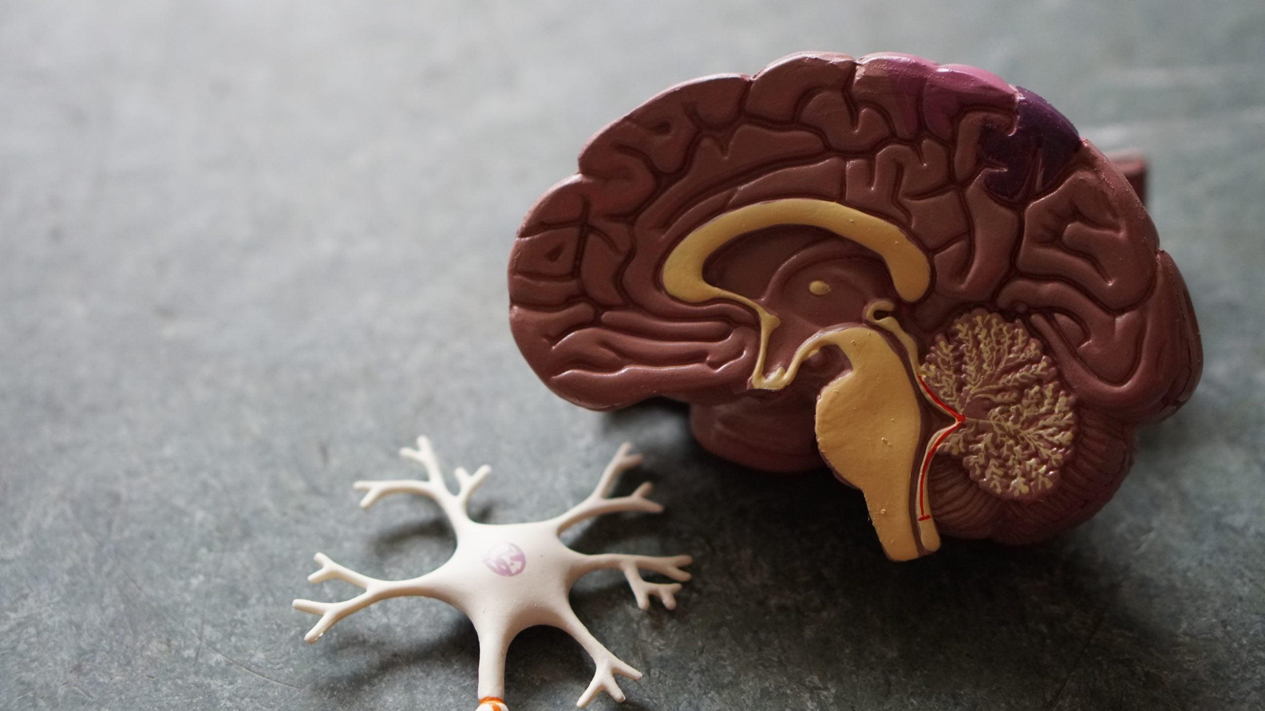 Über die Hypothalamus Funktion steuern Hormone dein Gewicht im Gehirn
