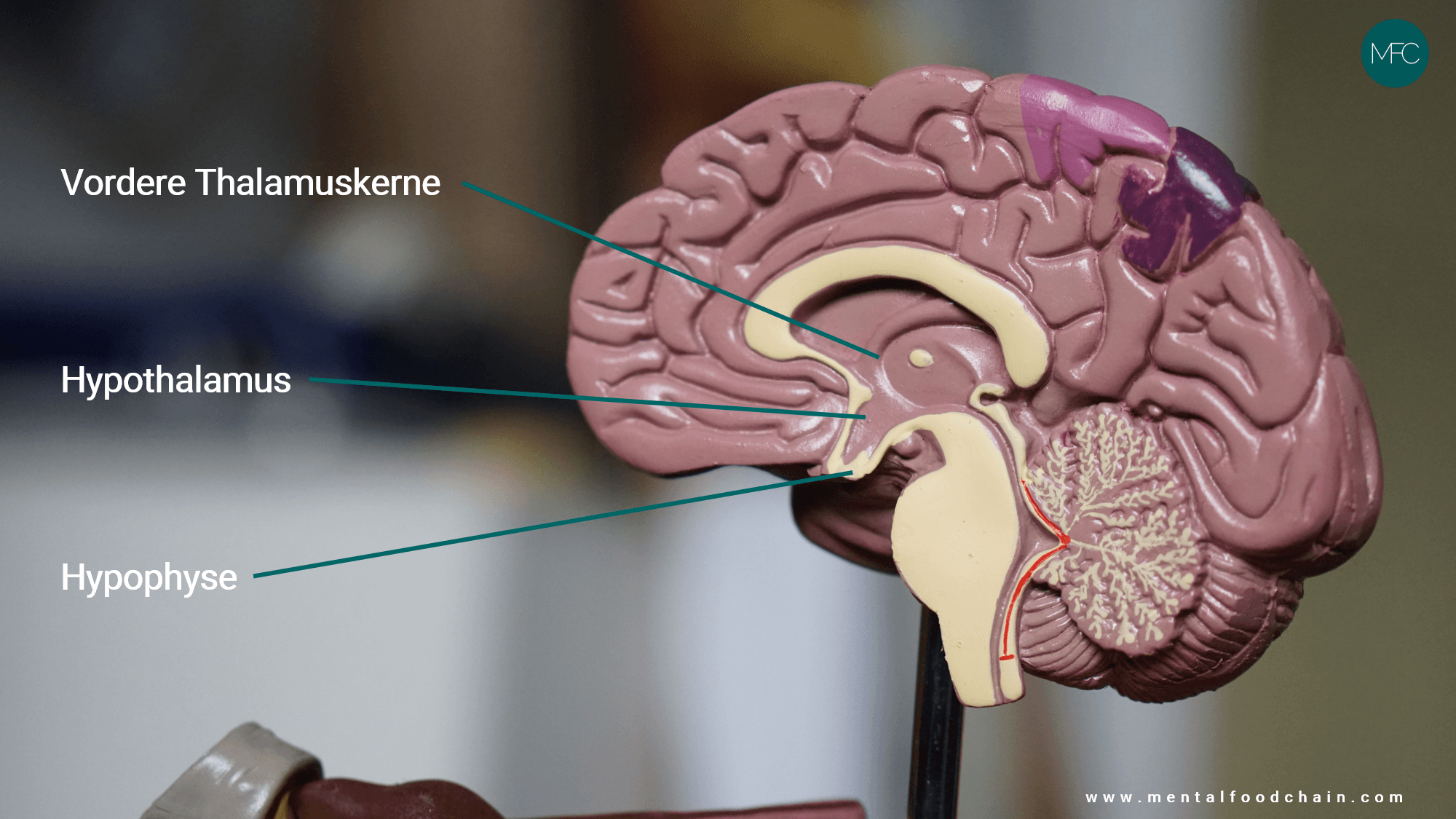 Der Hypothalamus liegt über der Hypophyse im Zwischenhirn