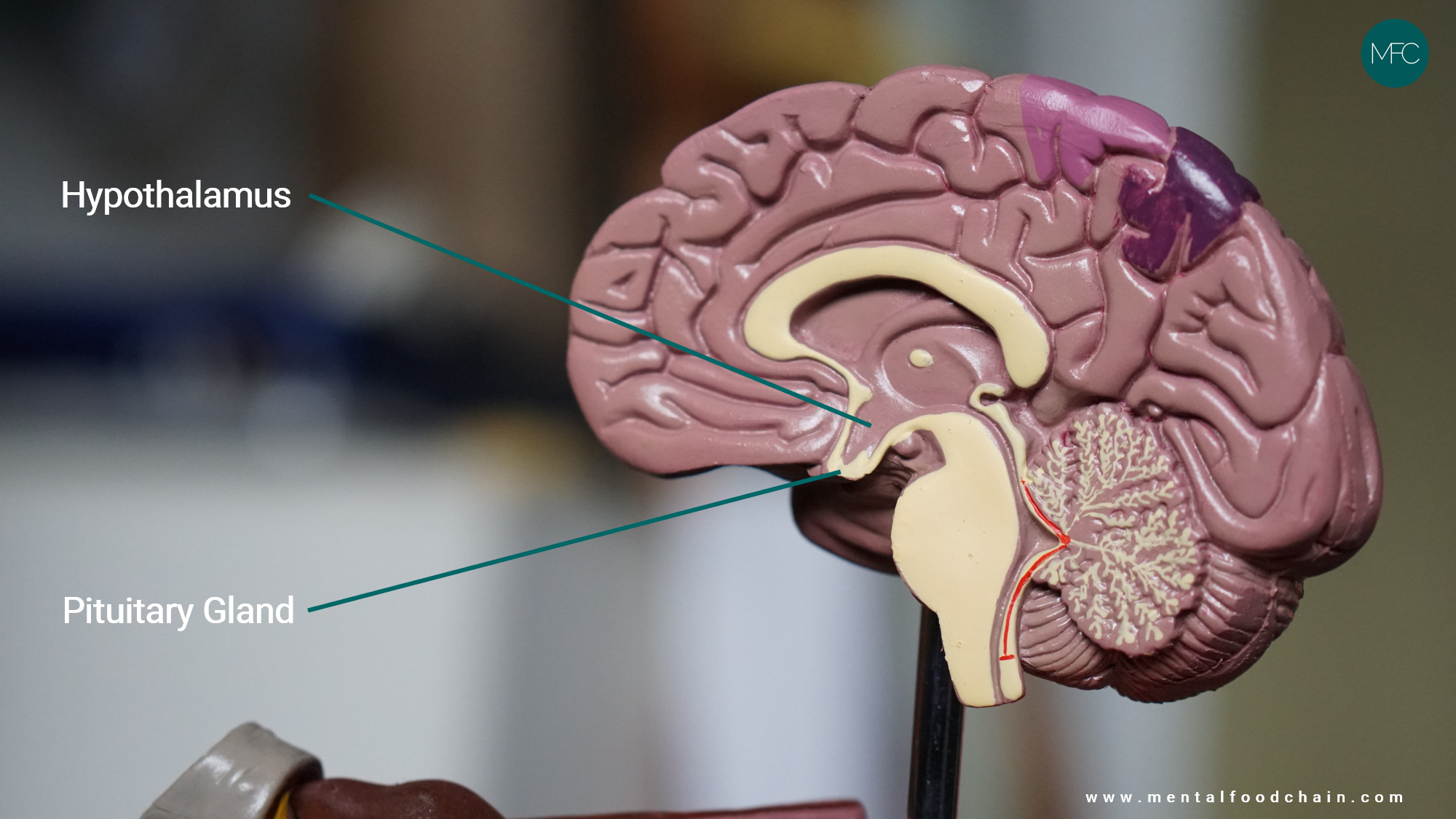 The hypothalamus is located above the pituitary gland in the brain