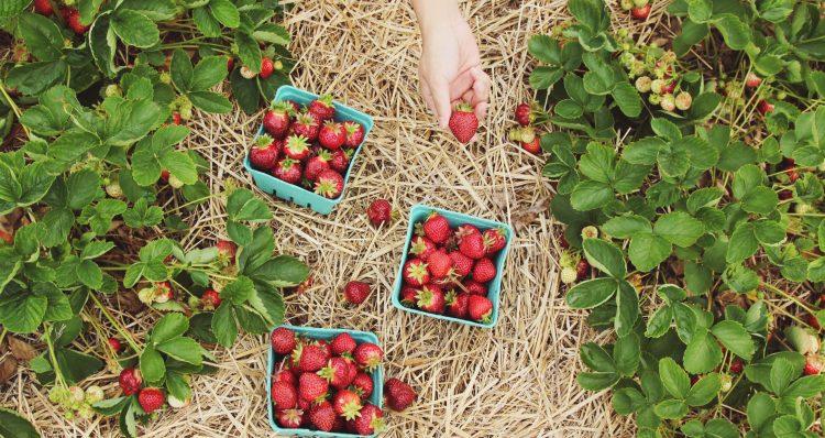 Erdbeeren werden im Sommer geerntet, wenn sie reif sind - dank Süßstoffen ist süßer Geschmack nicht mehr auf Jahreszeiten beschränkt
